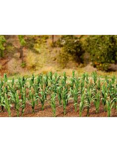 36 Maispflanzen
